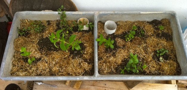 Freshly planted sub-irrigating planter with mint varieties