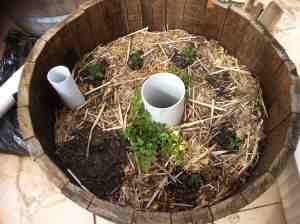 The first completed wicking wine barrel with worm tower planted with Italian herbs including thyme, sage, parsley and rosemary