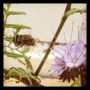 A native bee attracted to the Yulli's rooftop by planting some 'good bug mix' seeds